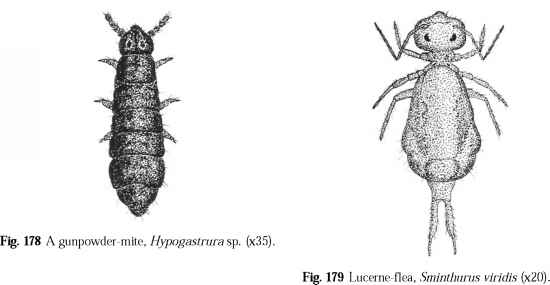 Collembola Infestation
